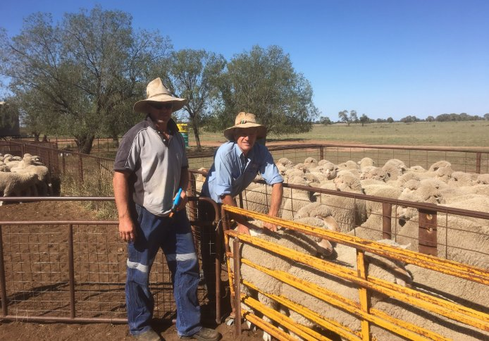 Warick classing sheep for client Craig Fordham at Armatree.
