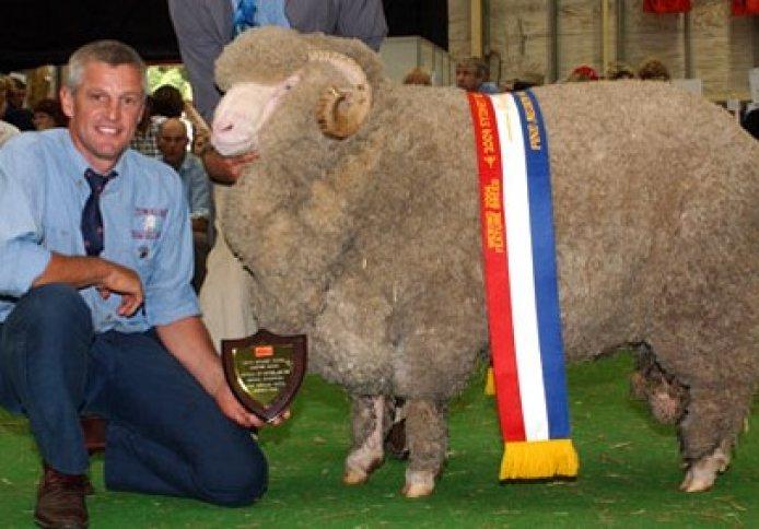 Sydney Royal Easter Show Grand Champion Fine/Medium Wool Merino Ram.